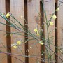 Winter Flowering Jasmine (Jasminum nudiflorum (Winter jasmine))