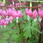 hart plant (dicentraspectabilis)