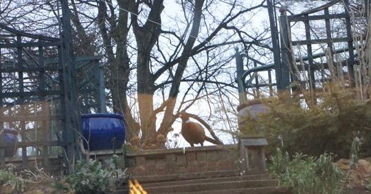 Pheasant comes a calling.