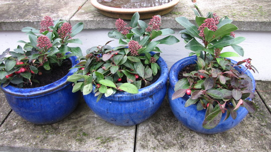 Spring pots made up. (Skimmia japonica (Skimmia))