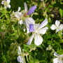 geranium Striatum (Geranium pratense (Meadow cranesbill))