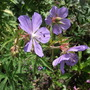 g.splish splash (Geranium pratense (Meadow cranesbill))