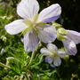 G. striatum (Geranium pratense (Meadow cranesbill))