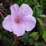 G. straitum (Geranium sanguineum (Bloody cranesbill))
