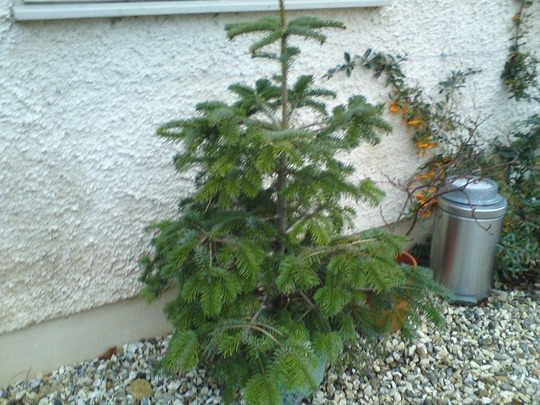 Potted Xmas tree