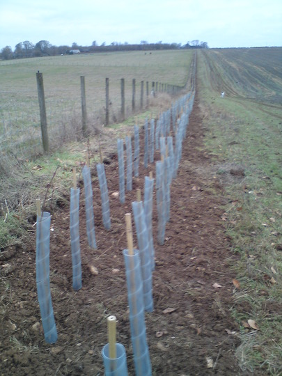 Newly planted Saxon hedging!
