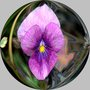 Enamelled_pansy_in_globe