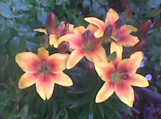 lillies JUL 10 3 Copy11