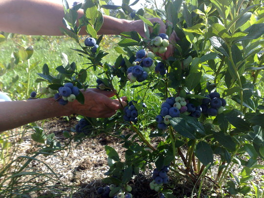 "Blueberries ""Patriot"""