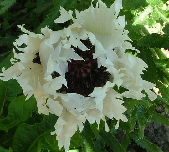 white ruffles (papava) (Papaver white ruffles)