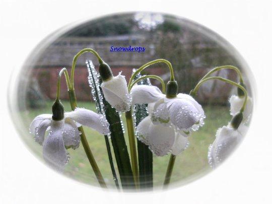 Snowdrops .....