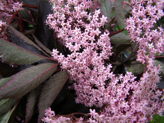 "Sambuccus Nigra ( Elderberry) ""Black Beauty"""