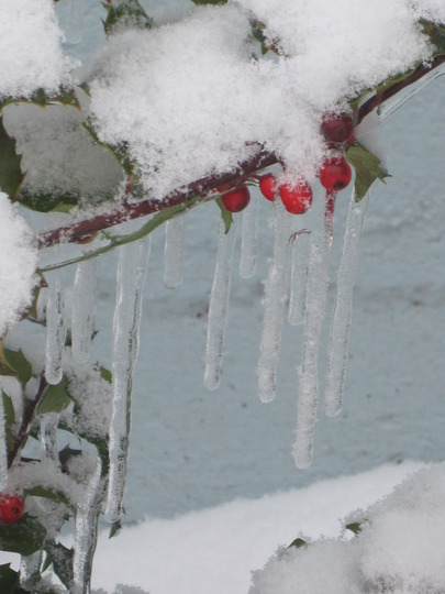 holly and icicles