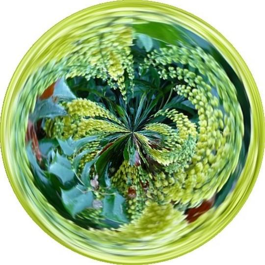 Amazing Circles Mahonia (Mahonia napaulensis)