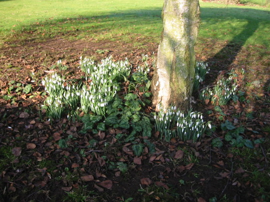 Snowdrops in the sunshine (Betula pendula 'Youngii')
