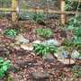 Snowdrops_in_the_hosta_area_lp