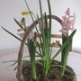Spring basket 1 week later. (Hyacinthus)