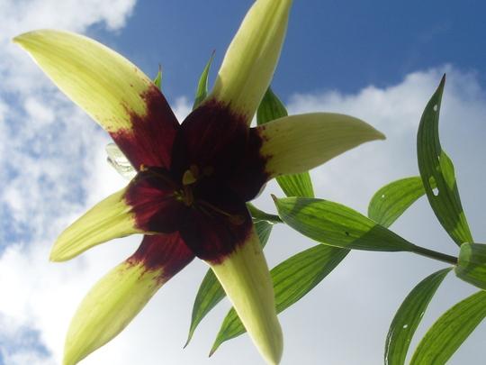 Lilium 'napalense'...summer '10