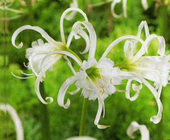 Look What I Bought Today! (Hymenocallis Festalis)
