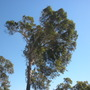 Eucalyptus Swaying from the Strong Santa Ana Winds (Eucalyptus)