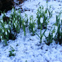 Snowdrops this Morning