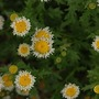 Strange_daisy_plant