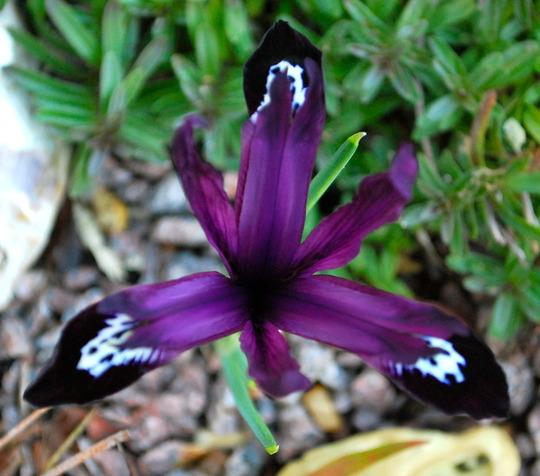 Minature Iris..... (Iris Dwarf Pauline.)