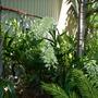 Dendrobium speciousum (grandiflorum) - White Dendrobium Orchid (Dendrobium speciousum (grandiflorum) - White Dendrobium Orchid)