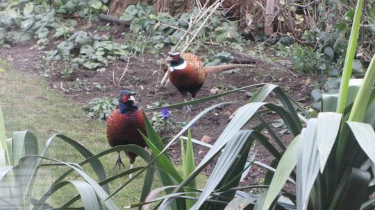 Pheasants back again today.