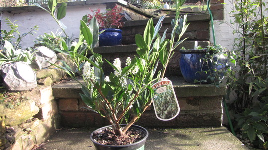 Prunus Laurocerasus 'Otto Luyken' (Prunus laurocerasus (Cherry Laurel))