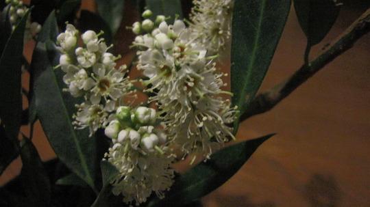 English Laurel (Prunus Laurocerasus) 'Otto Luyken' flowers (Prunus laurocerasus (Cherry Laurel))