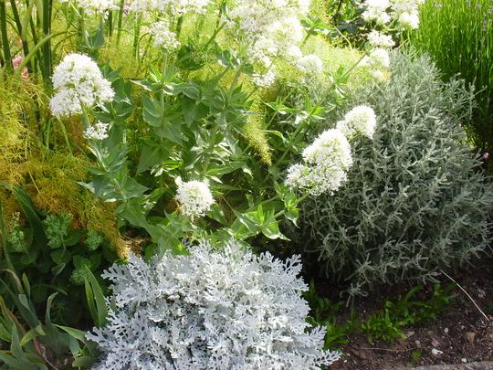 santolina cotton candy (Santolina chamaecyparissus (Cotton lavender))