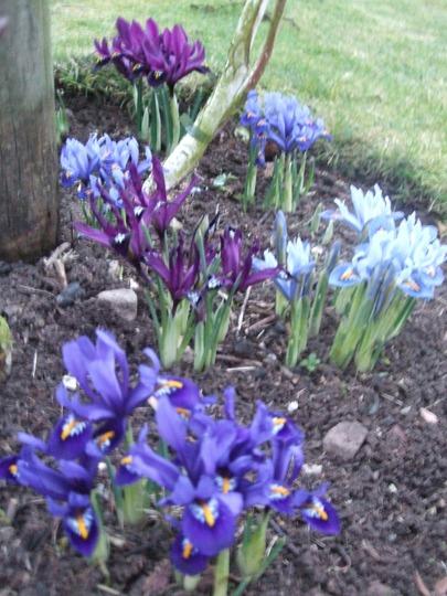 In the bed around the three birch trees. (Iris reticulata (Iris))
