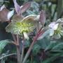 Helleborus lividus (Helleborus lividus)