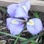 Iris_unguicularis_2011