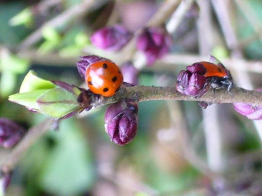 Daphne and ladybirds (Daphne mezereum (Dafne))