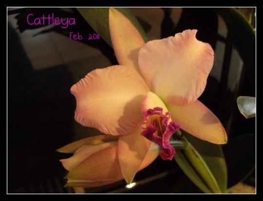 Cattleya ..