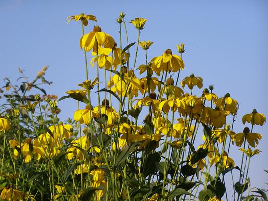 """Rudbeckia laciniata """"Golden Glow"""""""