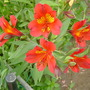a red alstroemeria