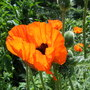 Cheerful Red Poppies