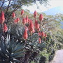 Stunning Aloe blooms in the hot sun..