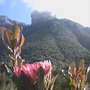 A Protea at Kirstenbosch