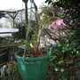 Hanging_basket_with_hellebore