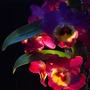 Nobile dendrobium orchidP2086820