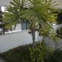 Licuala spinosa - Spiny Licuala, Mangrove Licuala (Licuala spinosa - Spiny Licuala, Mangrove Licuala)
