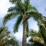 Roystonea regia - Royal Palm