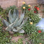 Sunroses, Aloe and Gazania's
