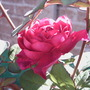 Rose in the dappled light