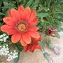 Hot Gazania's and asylum flowers...