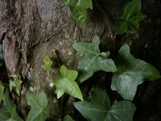 Shade loving ivy...